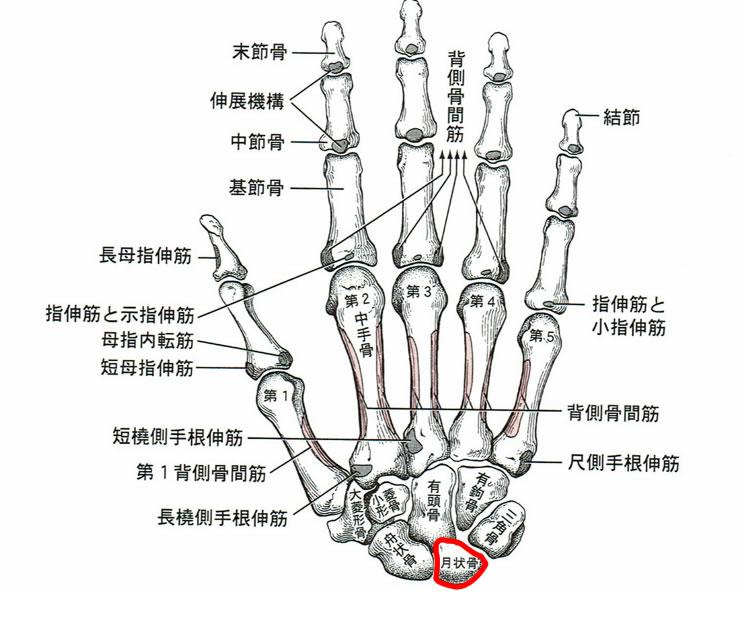 手根骨の図