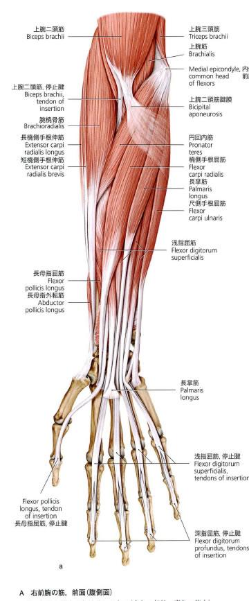 痛い が の 腕 筋
