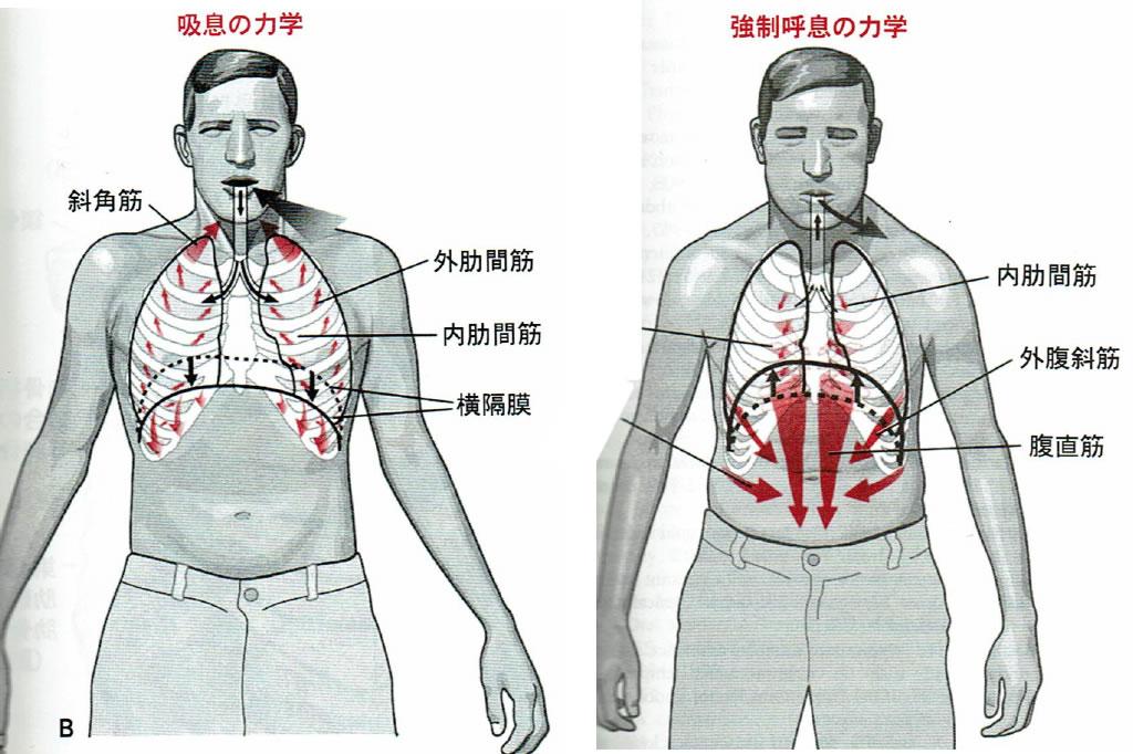 呼吸筋の動き