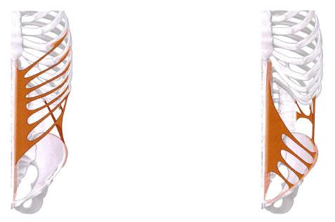 内腹斜筋と外腹斜筋の走行